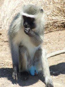 Turkuvaz testislere sahip bir vervet maymunu